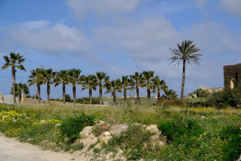 A line of date palms