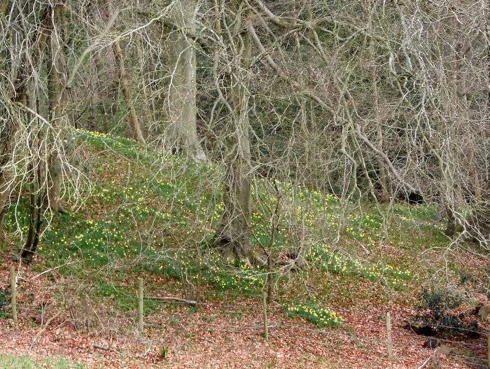 Passing an area of smaller wild daffodils