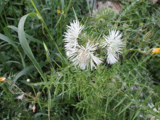 A huge variety, including this thistle