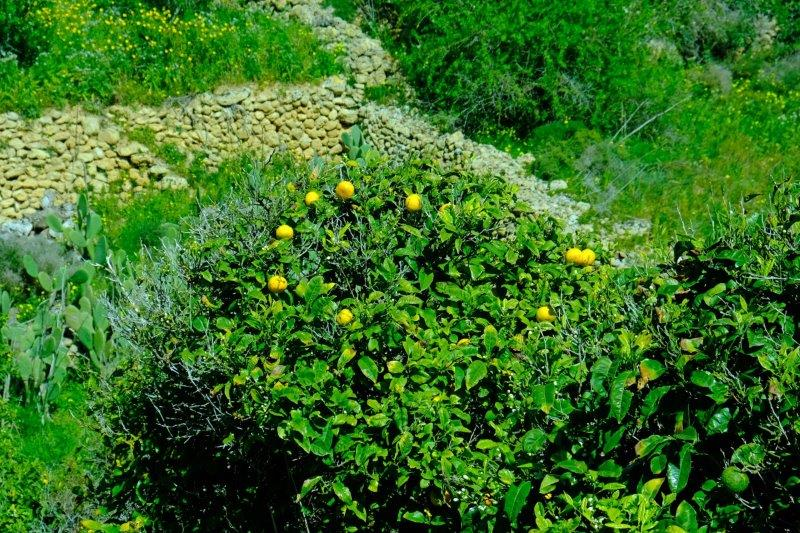 Lemons growing