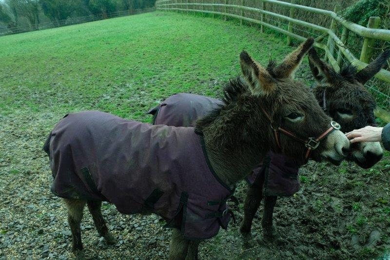 Two donkeys come over for some attention