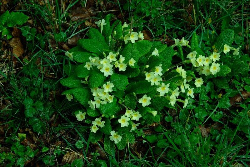 Early primroses