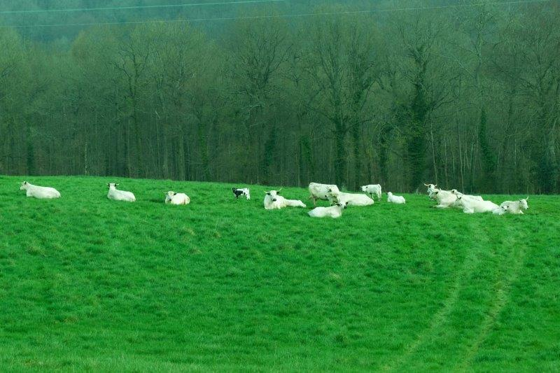 And a herd of white cattle just down the hill