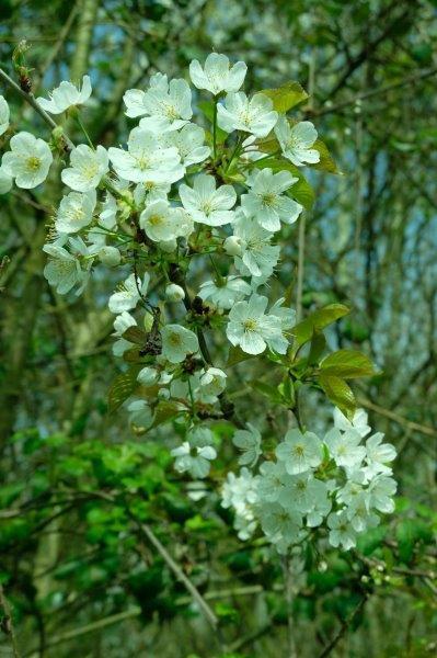 Blackthorn blossom well established