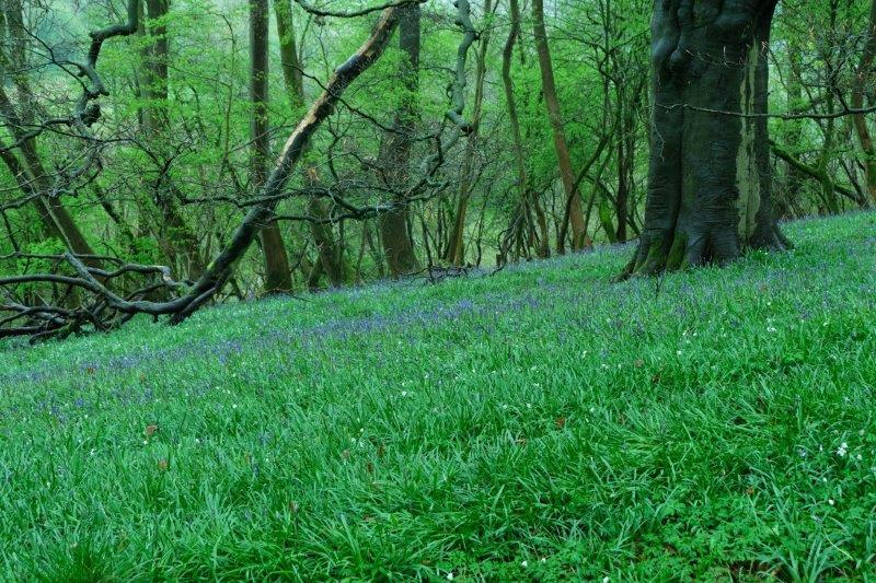 Through bluebell woods