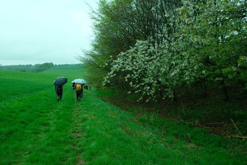 Blackthorn in the hedgerows