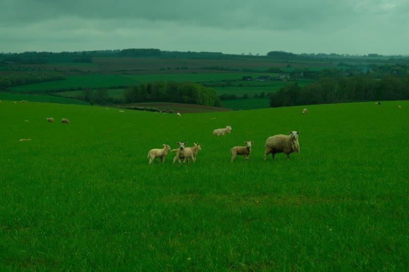 More sheep now as we cross the top of the hill