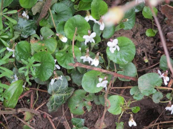 White violets by the roadside