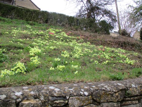 A bank of primroses