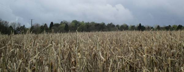 Last year's maize crop with fifty shades of green in the background