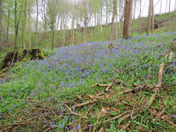 The bluebells are stunning (we wouldn't have had those on December 27th!)