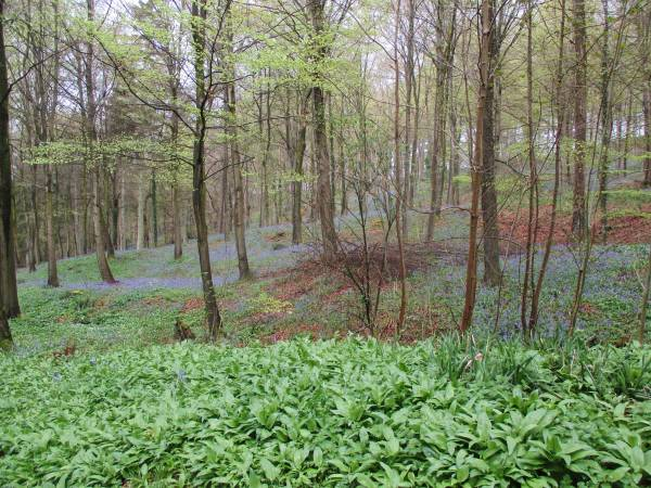 Swathes of them and wild garlic