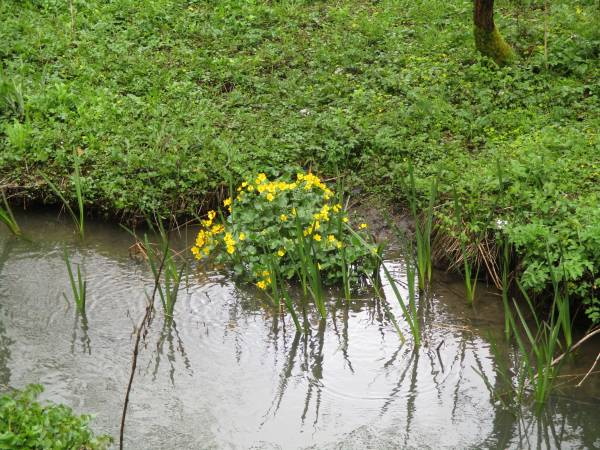 And marsh marigolds