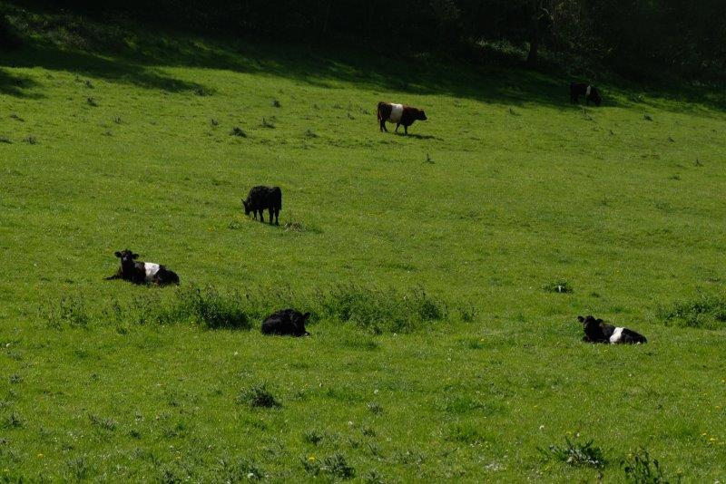 Watched by some Belted Galloways