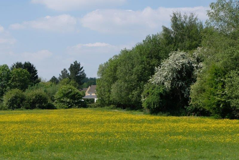 Circling a field of buttercups