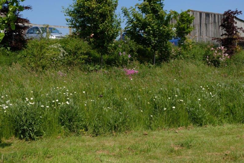The verge of a narrow lane given over to wild flowers