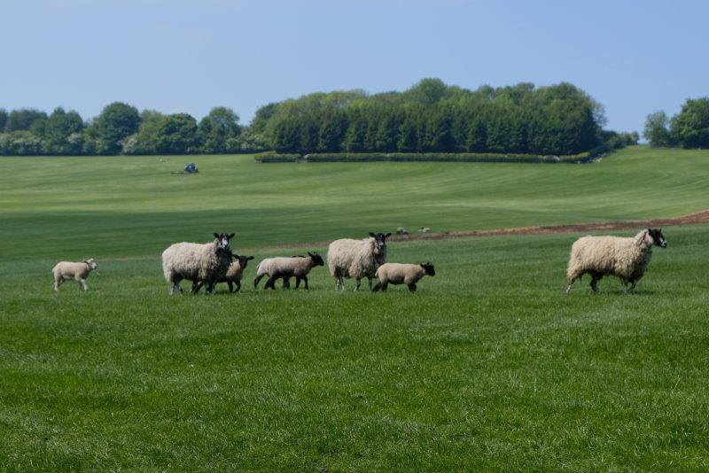 Sheep out for a walk
