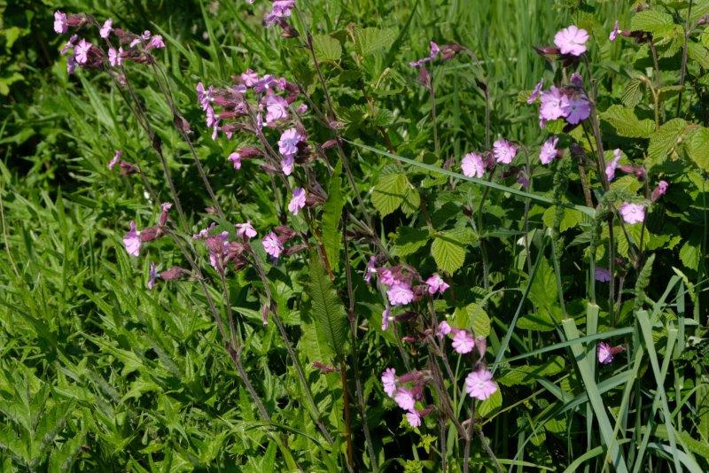 Lots of wayside flowers