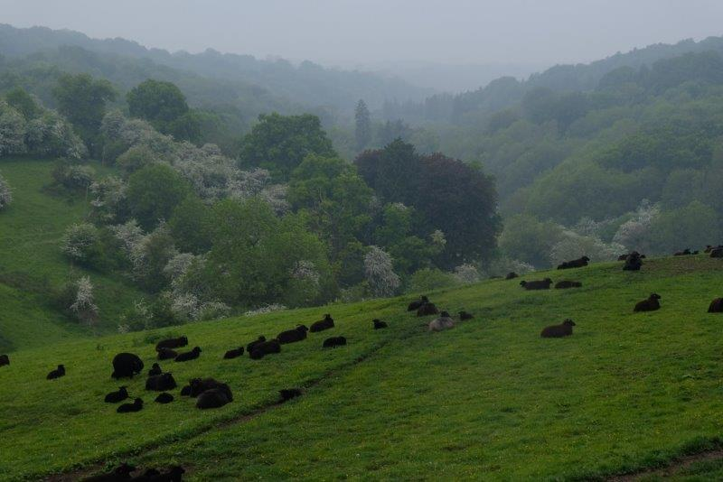 Meanwhile the sheep are below on the valley slopes