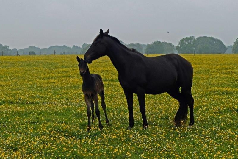 Mother and foal enjoying the buttercups