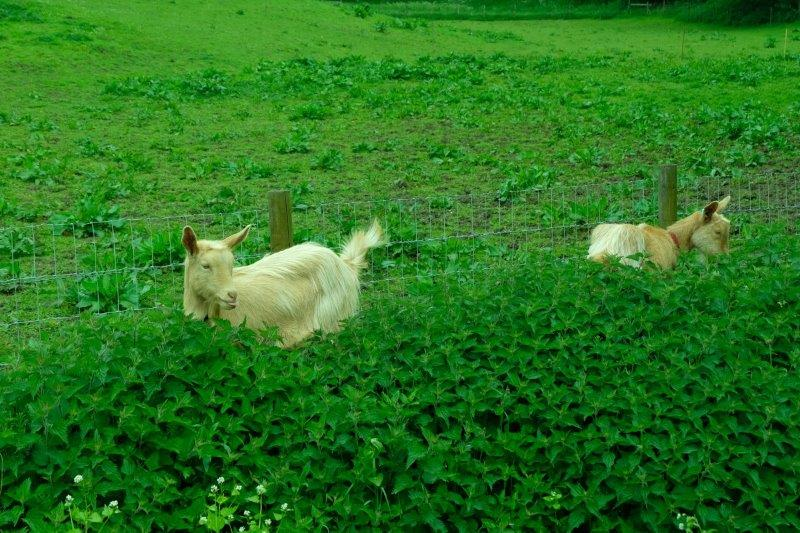 A pair of goats (they eat the nettles only when they are cut down, I overhear)