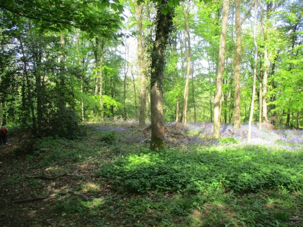 Bluebells in Cowcombe Woods