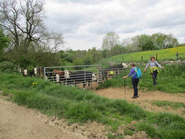 Back up to Frampton Mansell through some very peaceful bullocks.