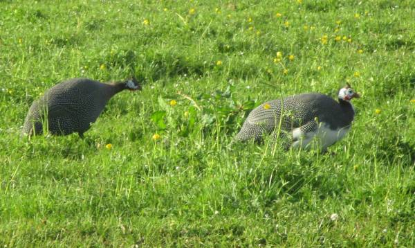 The noise we hear comes from these guinea fowl