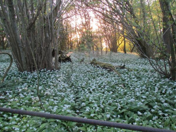 Wild garlic everywhere
