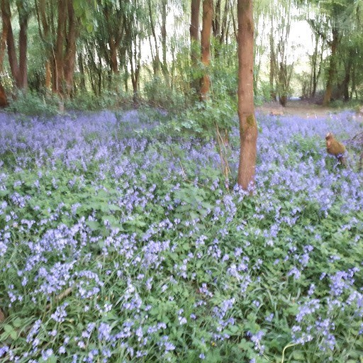 Ros took this picture of the bluebells