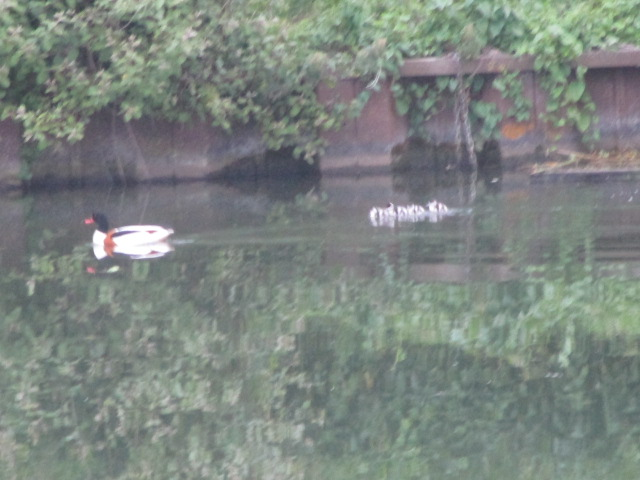 On the canal we hear a cuckoo, see a barn owl, a heron, two pairs of tufted ducks and mummy shelduck with her ducklings