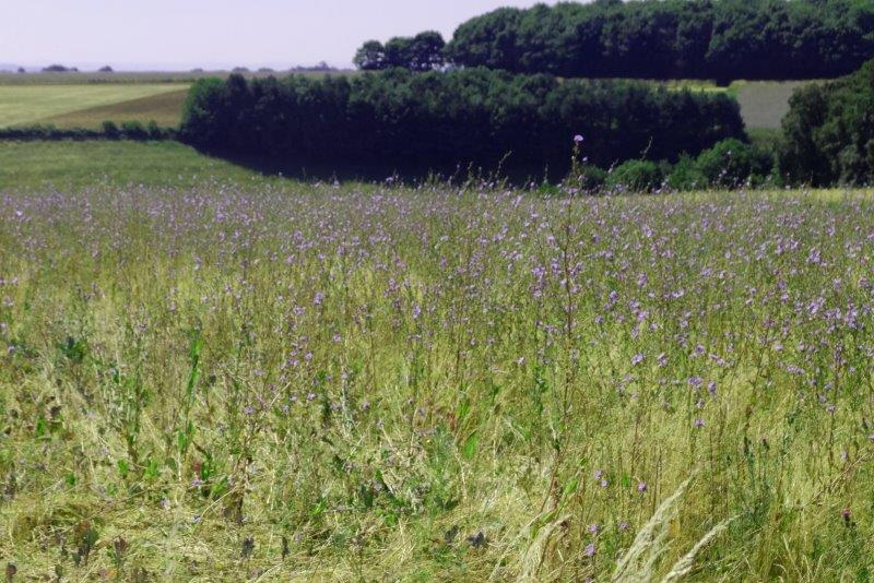 Fields of blue chickory