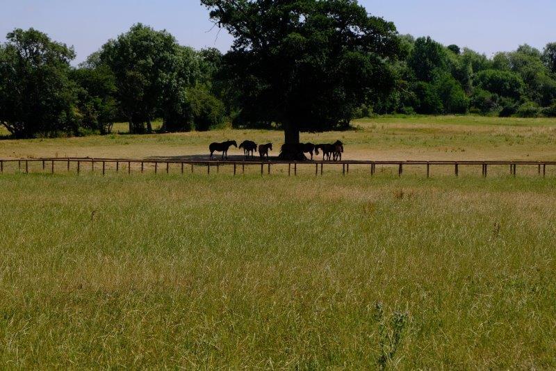 Horses seeking shade