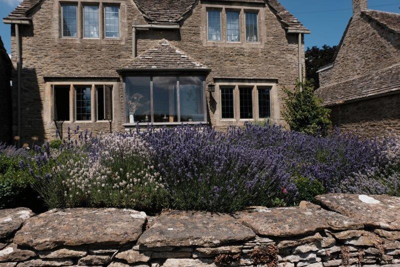 Lavender crop in the garden