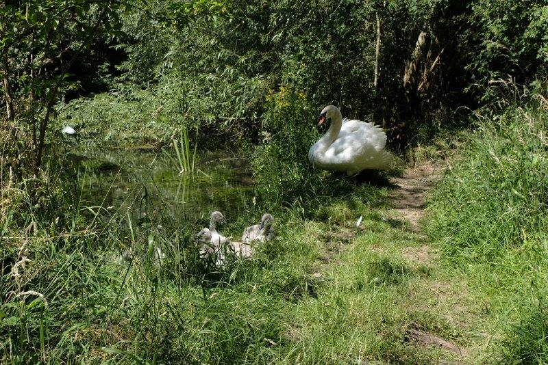 Till we meet Mr Swan with his cygnets