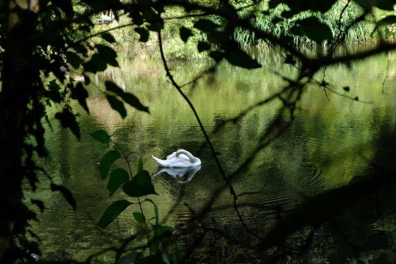 Swan on the mill pond