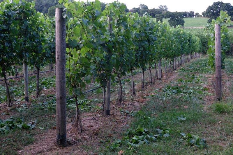 Heading into the vineyard