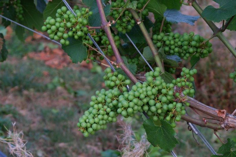 Where the grapes are ripening