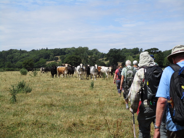 We walk through a mixed herd of cattle. Can anyone see a bull? No, there isn't one.
