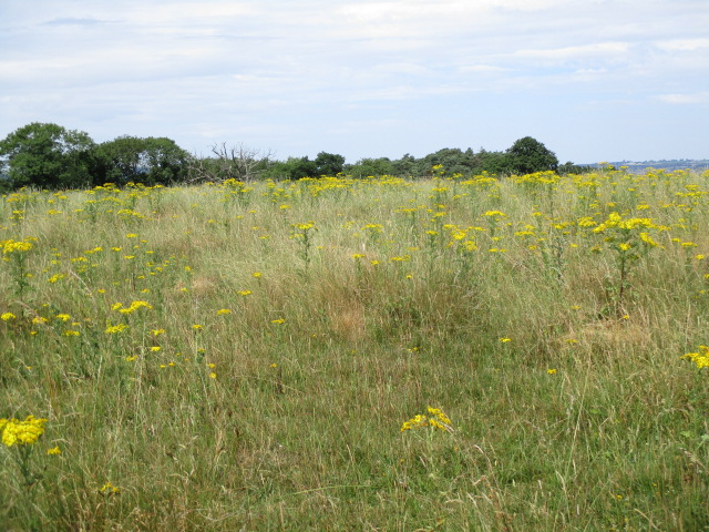 In the Deer Park they seem to be cultivating ragwort