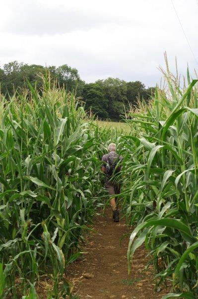 Then through the middle of a field of maize