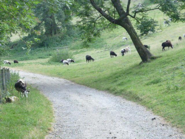 Lots of Jacob sheep
