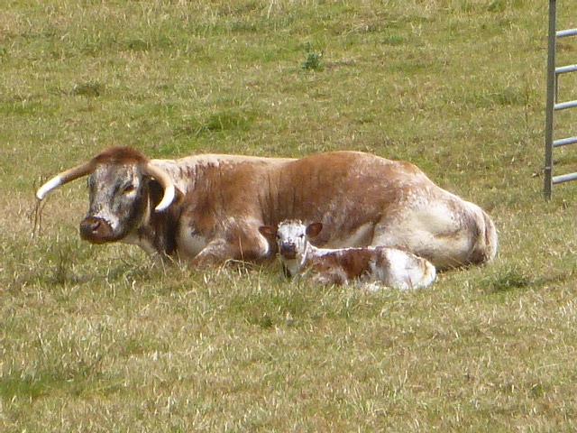 A Longhorn and calf