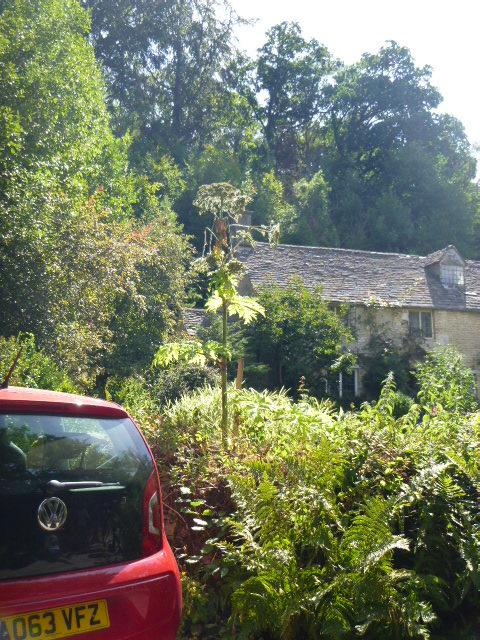 Giant hogweed in this garden - car for scale