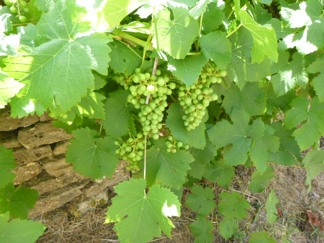 And grapes overhanging this Oakridge wall.