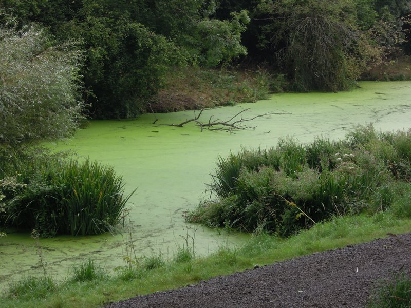 Lake covered in duckweed. Do they eat it?