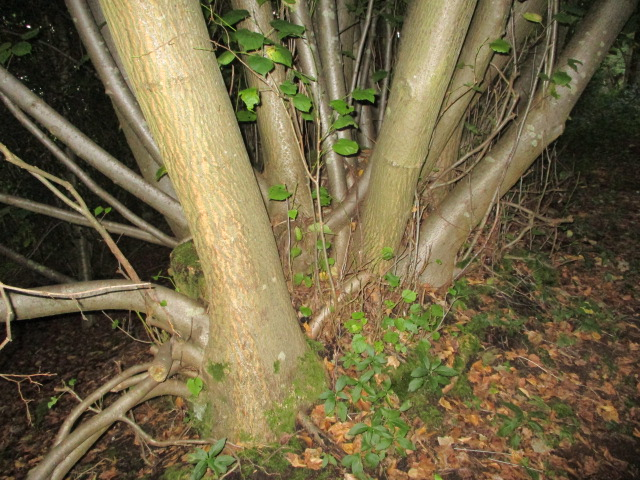1000 year old  Large-leafed lime coppice