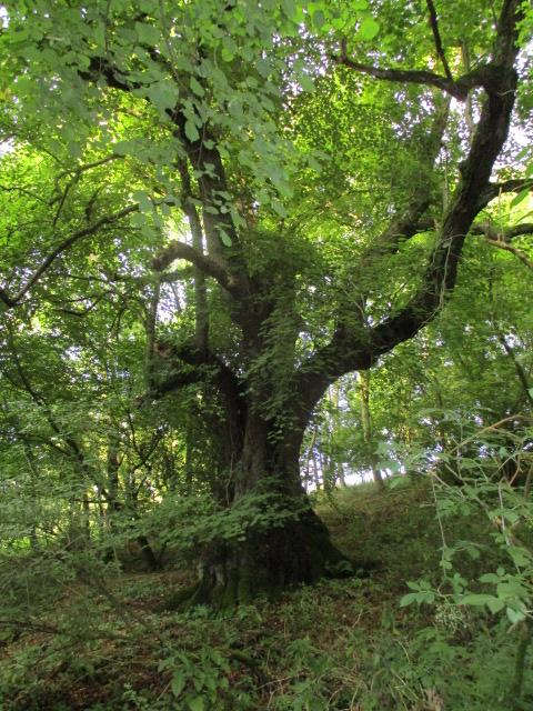 A famous large-leafed lime tree