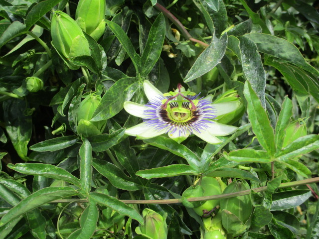 A lovely passion flower