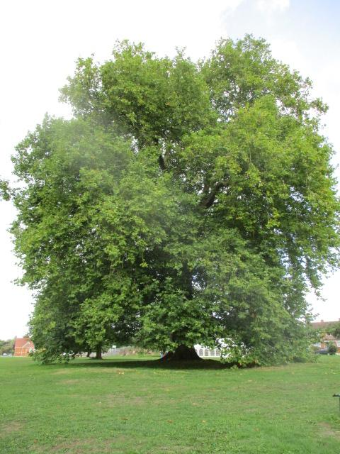 On the village green a London plane